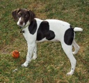 GERMAN POINTER -
