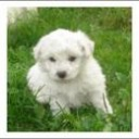 BICHON FRIESE -